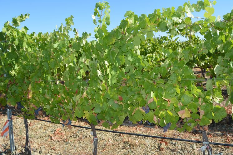 Scientific publication:  Post-Harvest Regulated Deficit Irrigation in Chardonnay Did Not Reduce Yield but at Long-Term, It Could Affect Berry Composition